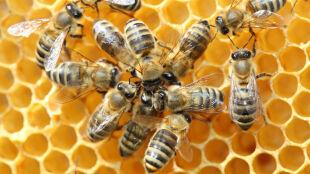 Ekspansja pasożyta atakującego pszczoły miodne postępuje. Z południa Europy na północ