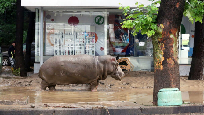"""Dzikie zwierzęta na ulicach Tbilisi. <br />Sceny jak z filmu """"Jumanji"""""""