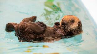 El Nino rozdzieliło małą wydrę morską i jej matkę. Szczenię już nigdy nie wróci na wolność