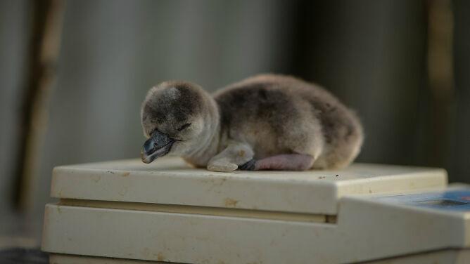 Pingwiny peruwiańskie w Chester Zoo <br />rosną jak na drożdżach