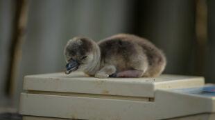 Pingwiny peruwiańskie w Chester Zoo rosną jak na drożdżach