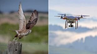Drony nauczą się polowania od sokołów